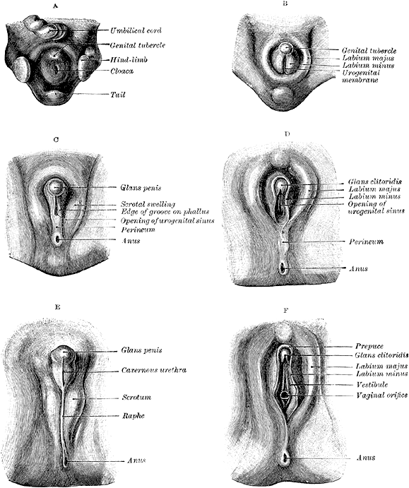 Medical reference pictures of clitoris