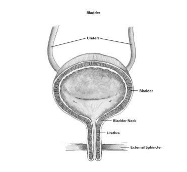 6. bladder