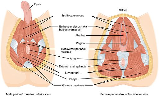 1116_Muscle_of_the_Perineum (1)