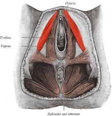 Ischiocavernosus-female