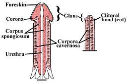 Penile-Clitoral_Structure