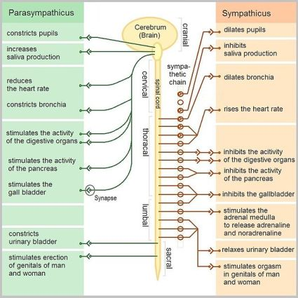 The_Autonomic_Nervous_System