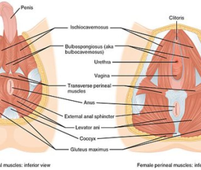 1116_muscle_of_the_perineum