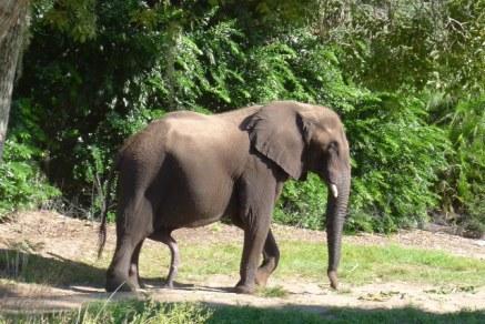 elephant penis