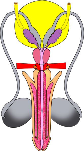 Male_reproductive_tract