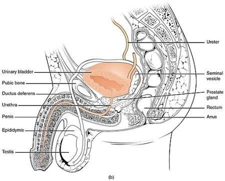 2603_Male_Urethra_N