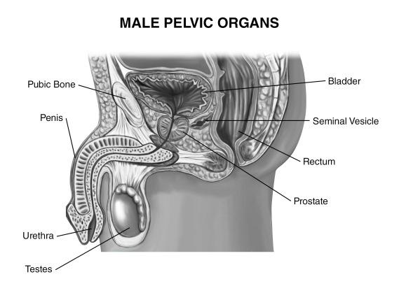 Male Pelvic Organs
