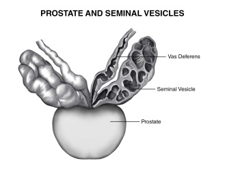 Prostate And Seminal Vesicles