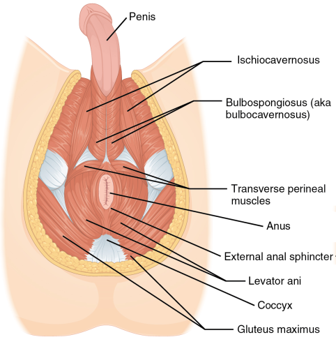 1116_Muscle_of_the_Male_Perineum